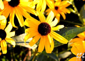 Yellow flowers with dark brown centers in the sunshine