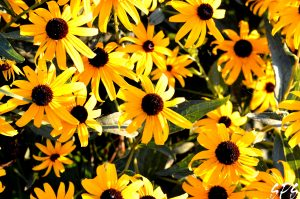 Yellow blooms with dark brown centers in the sunlight