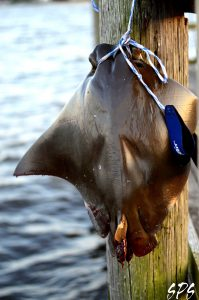 A freshly caught skate hangs from a pole on a pier